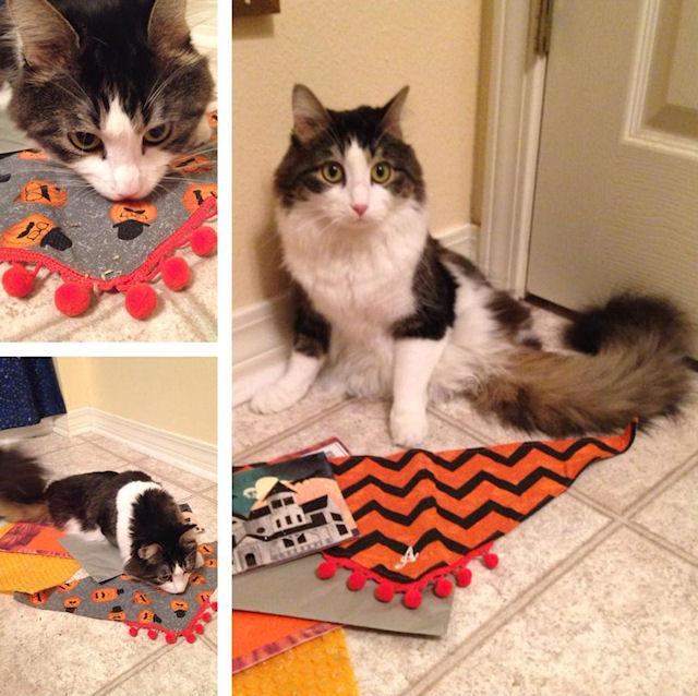 Анакин — двухлапый чудо-кот