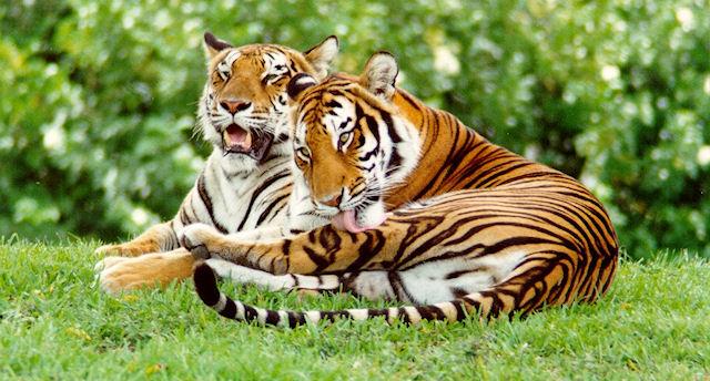 Генетики подтвердили правильность выражения «большие кошки»