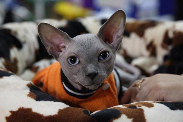 Чемпионат породистых кошек пройдет в Киеве в конце ноября