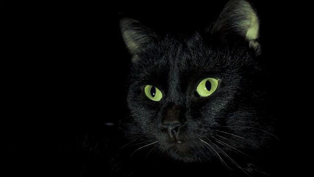 Черные кошки приносят в дом счастье
