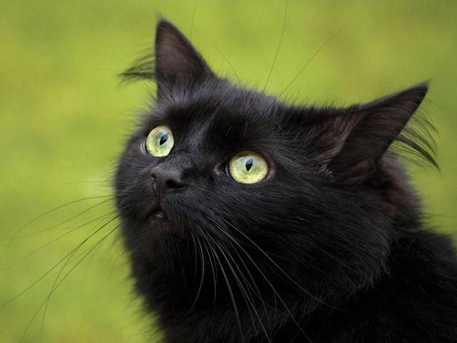 Черные кошки – залог удачи и спокойствия в доме