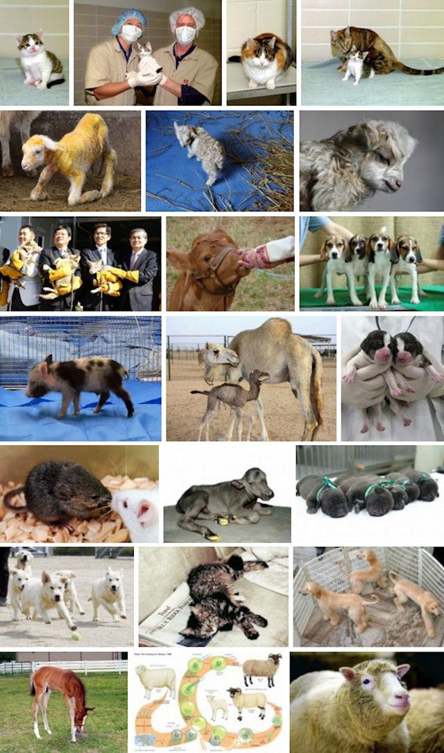 12 лет назад было клонировано первое домашнее животное