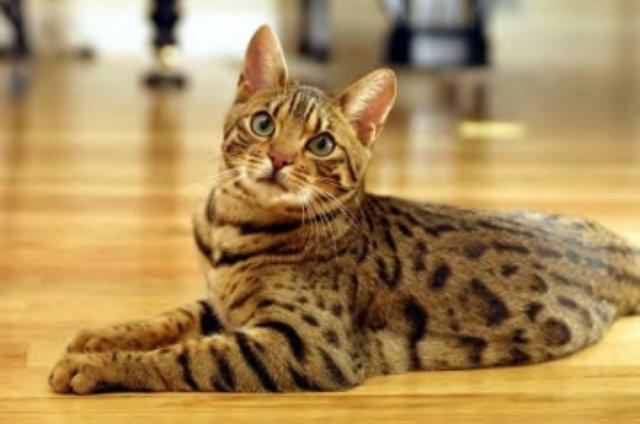 Экзотическую кошку продали за 22 тысячи долларов