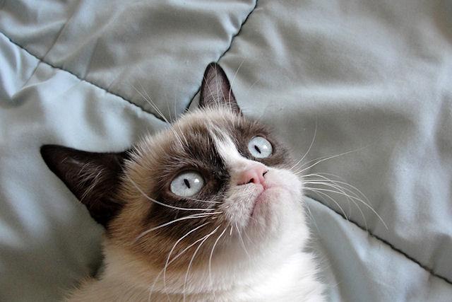 Grumpy Cat снимется в главной роли в новой комедии Тодда Гарнера