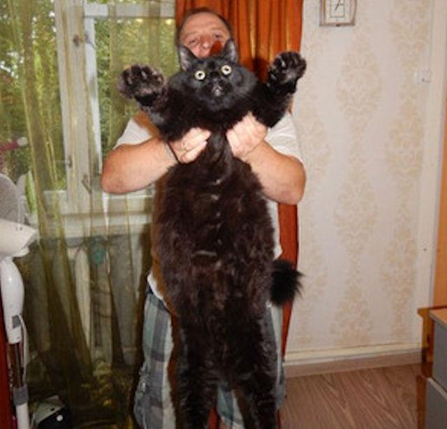 Интернет-пользователей покорил гигантский кот, которого выгуливают на поводке