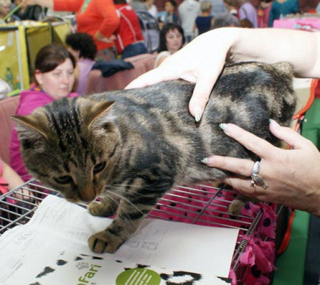 На калужской выставке показали беспородных кошек
