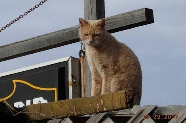 Кошачий мэр города Талкитна поправился после нападения пса