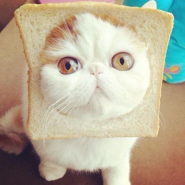 фото кошки экзотов