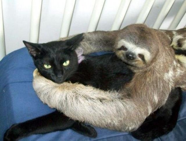 Кошка + ленивец = любовь