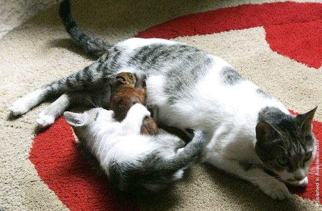 Кошка подружилась с бельчонком