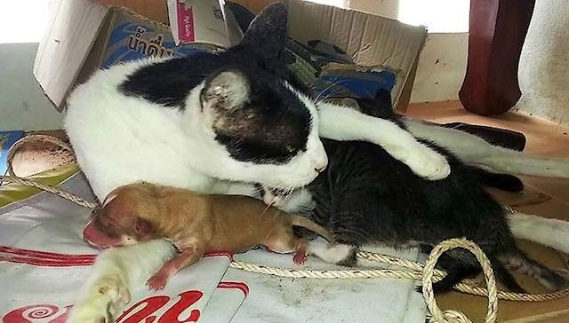 Кошка приняла новорожденного щенка за своего детёныша