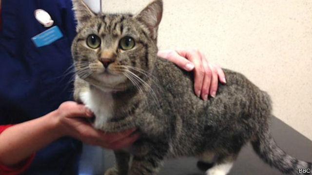 Кошка с Канарских островов найдена в Шотландии