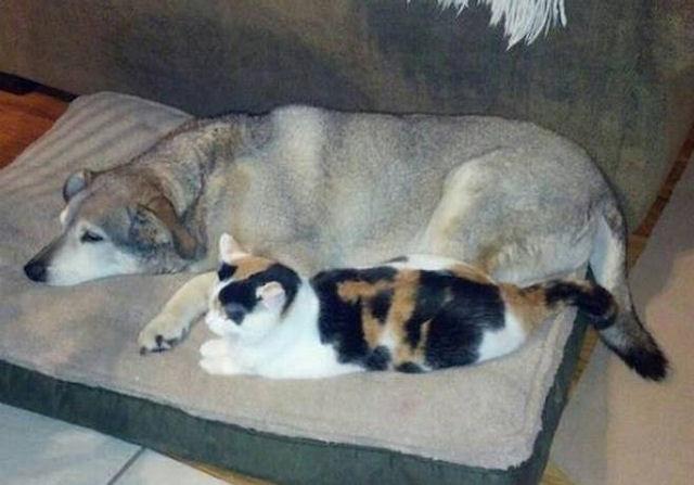 Кошка стала добровольной сиделкой для пса