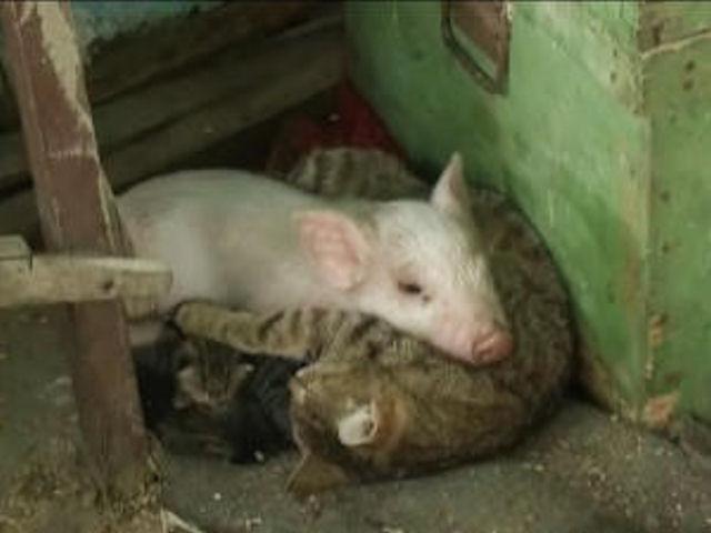 Кошка усыновила осиротевшего поросёнка