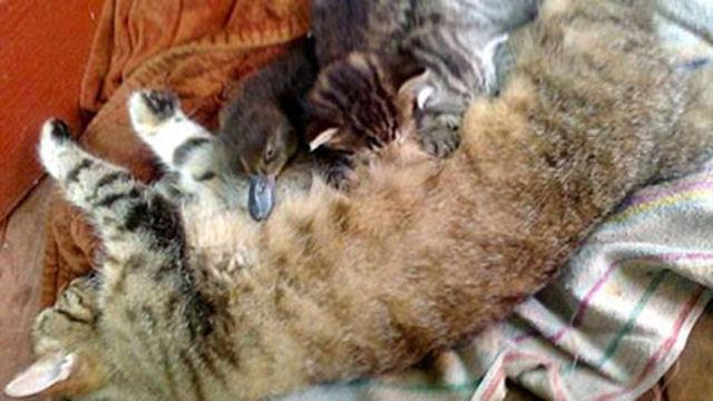 Кошка усыновила утёнка