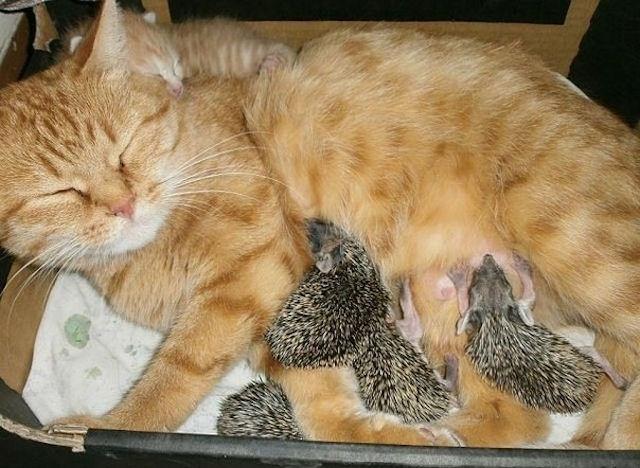 Кошка выкормила 4-х ёжиков