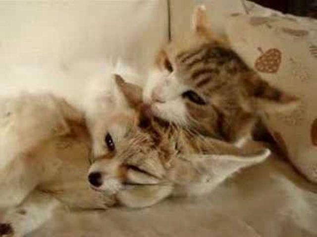 Кошка взяла на воспитание брошенного лисёнка
