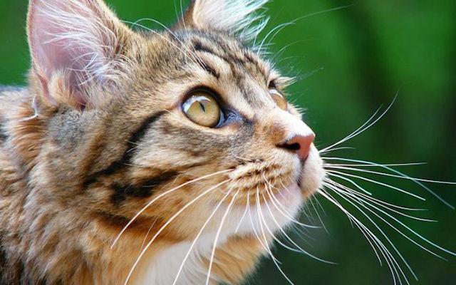 В Великобритании кошка заразила хозяйку туберкулезом