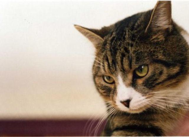 Кошки могут стабилизировать давление