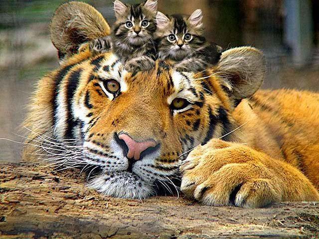 Кошки и тигры обладают одинаковой ДНК