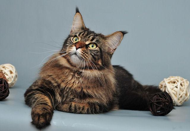 Своенравные кошки породы мейн-кун