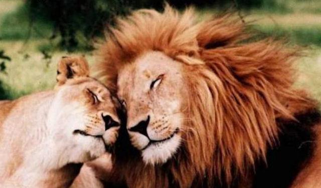 Кошки «обскакали» в охоте львов и тигров