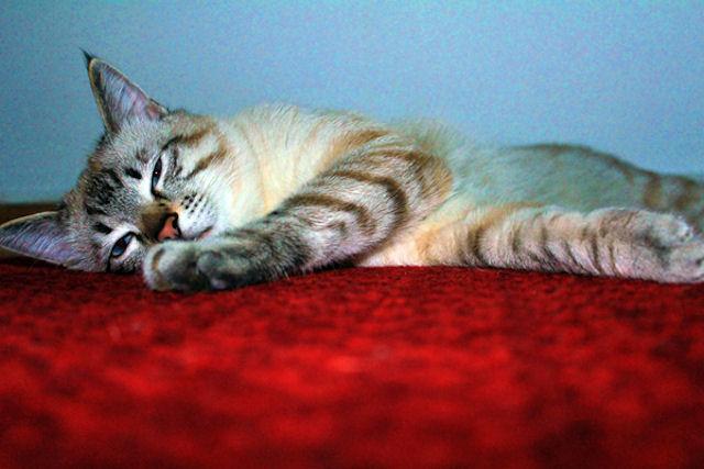 Кошки и собаки предотвращают появление рака лимфатической системы