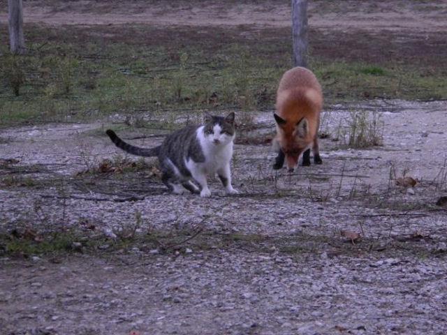 Кот и лис – друзья навеки