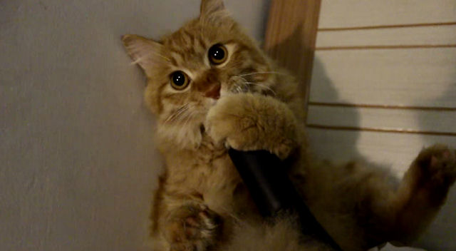 В России живёт кот, который обожает играть с пылесосом