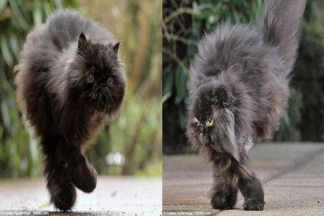 Кот-инвалид ходит на двух лапах