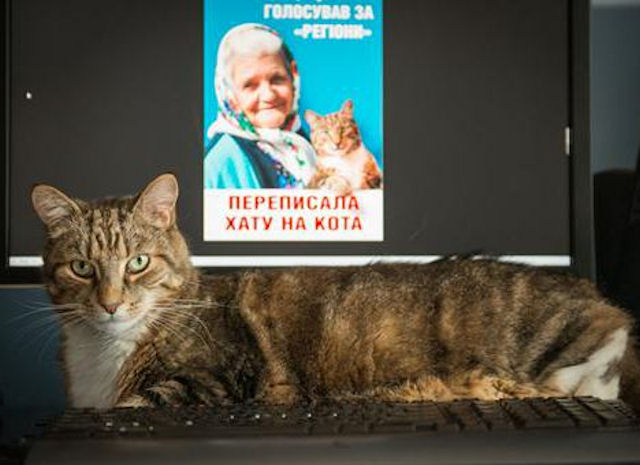 Кот Кьютип борется за победу в конкурсе от Shutterstock