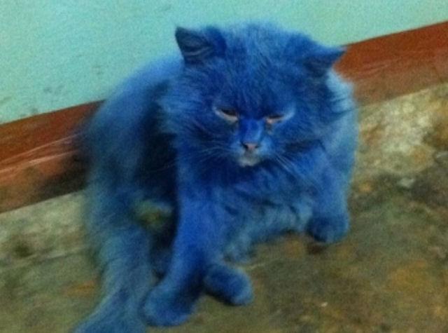 Кот породы «Аватар» был найден в Твери