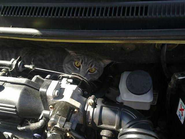 Бездомный кот путешествовал из Португалии в Голландию под капотом авто