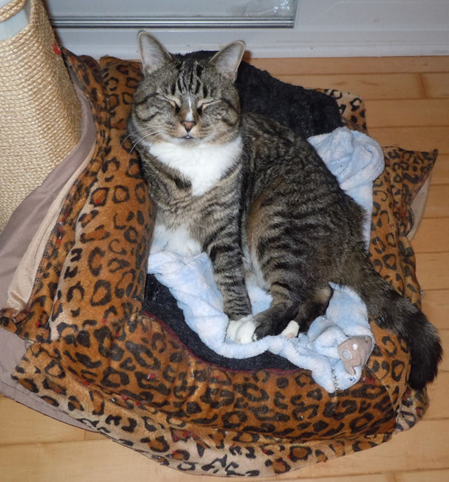 У кота с тремя лапами осталось всего 4 жизни