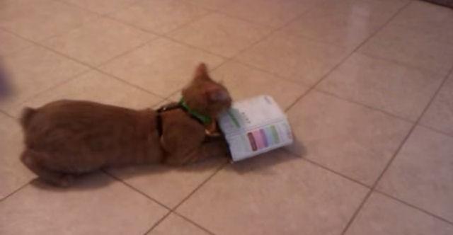 Кот-трюкач обожает прыгать через импровизированный обруч