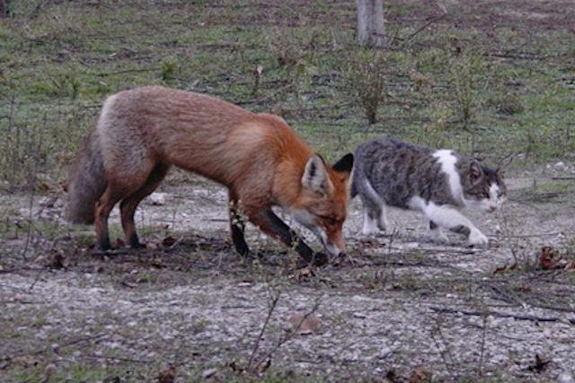 Кот Василий привёл лисёнка на территорию заповедника