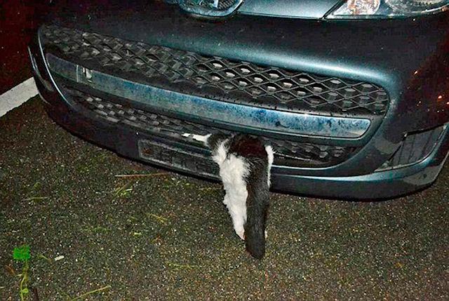Кот выжил после мощнейшего удара автомобиля
