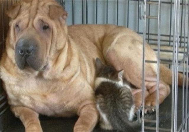 Котёнок обрёл молочную маму в лице собаки