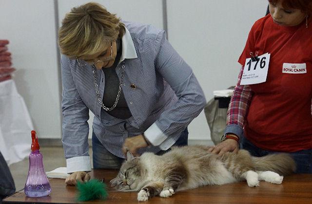 На выставке кошек в Москве показали «красных британцев»