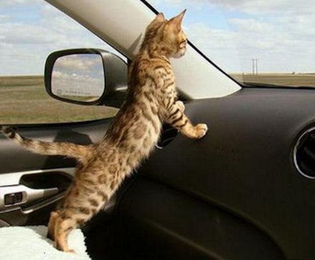 Машины латышей страдают из-за кошачье-собачьих разборок