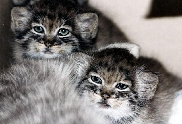 Кошка стала приёмной матерью для детёнышей манула