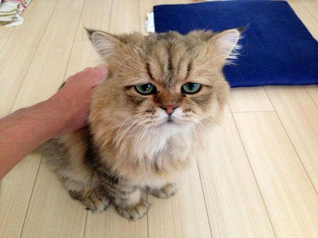 «Огорченный кот» составит конкуренцию Grumpy Cat