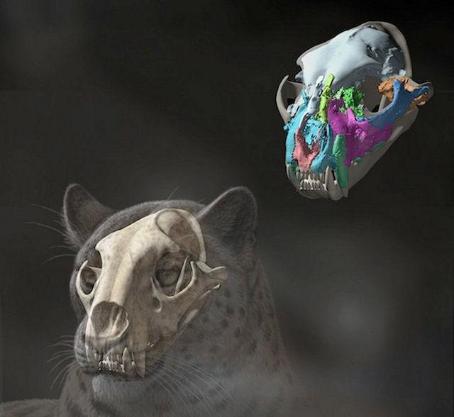 Ученые нашли окаменелый череп большой кошки на Тибете