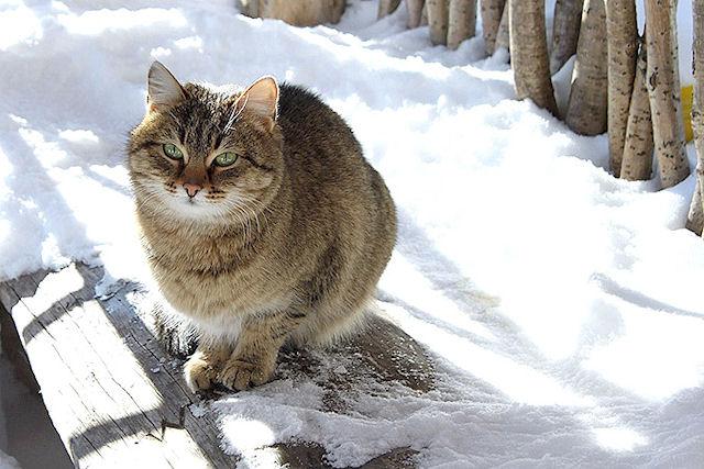 Мужчина отсудил сибирскую кошку после трех лет разбирательств