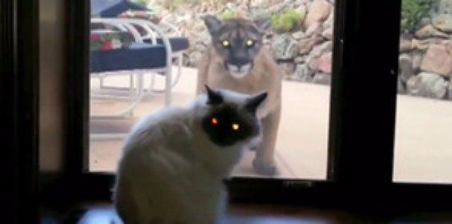 Отважный кот сумел противостоять голодной пуме