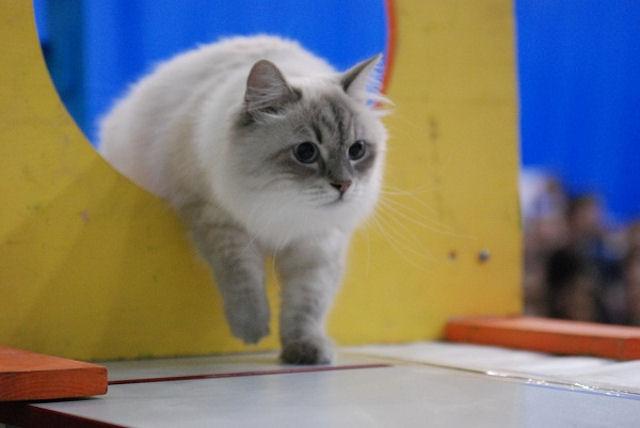 В Пензе впервые пройдут соревнования по кошачьему аджилити