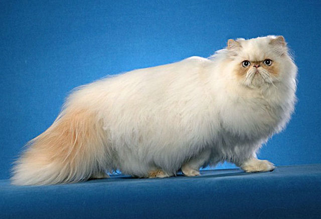 Из истории появления персидской породы кошек