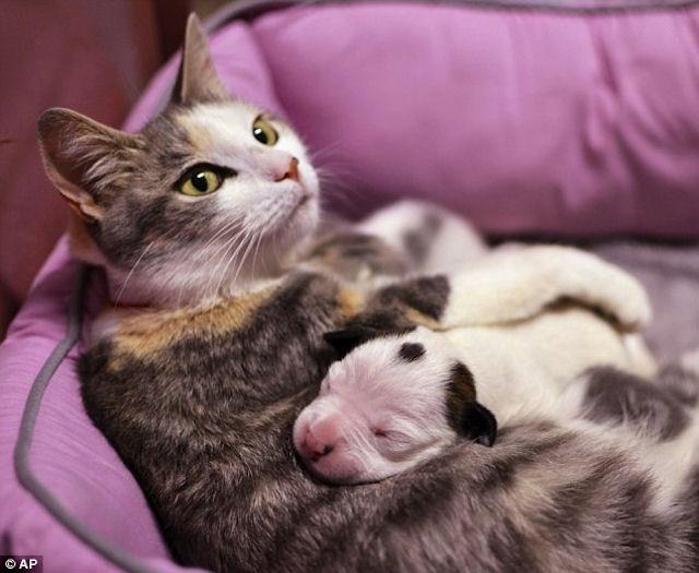 Щенка питбуля выкормит кошка