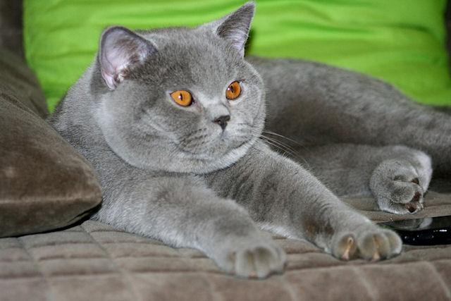 В Петербурге была обманом похищена кошка британской породы