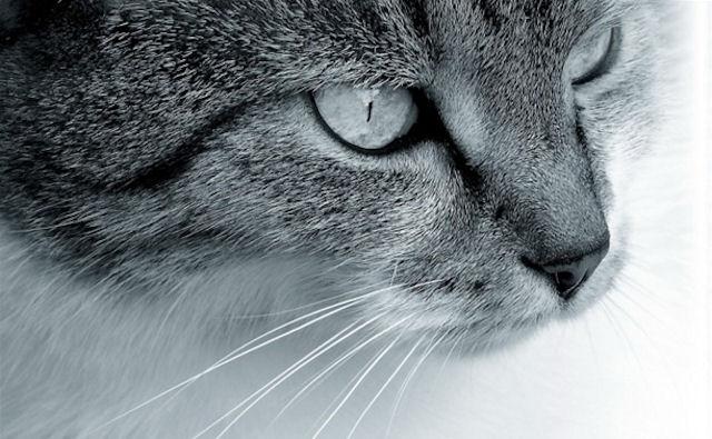 В Туле пройдет выставка кошке